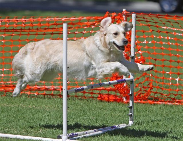 Portable Agility Dog Teeter